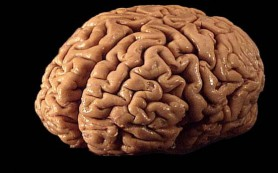 Работа генов отличает работу человеческого мозга от мозга обезьяны