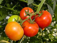 В томатах обнаружен природный аналог антидепрессантам