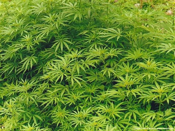 Курение марихуаны удваивает риск инсульта у молодых людей — ученые
