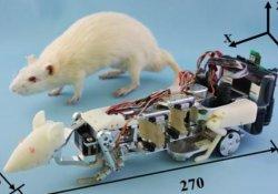 Робот-крыса поможет ученым изучать влияние стресса на живой организм