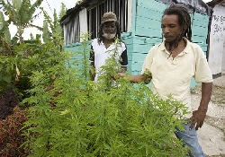 Власти Ямайки планируют легализовать употребление марихуаны