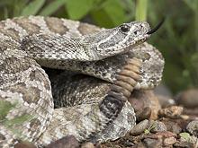 Гремучие змеи подсказали ученым, как победить болезнь Альцгеймера