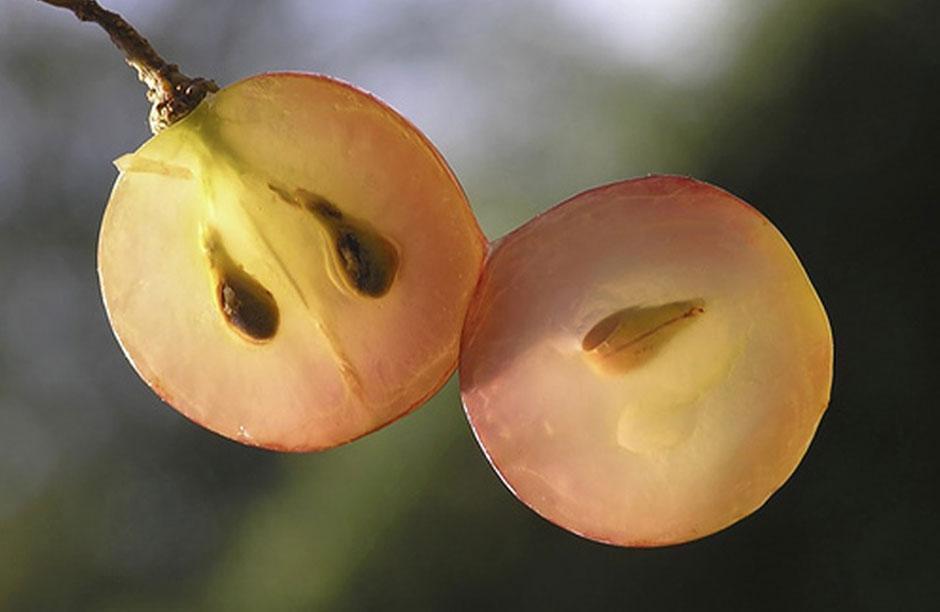 Виноградные косточки лечат нервную систему