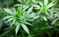В Бразилии появится лекарство от эпилепсии на основе марихуаны