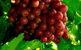 Листья красного винограда для здоровых сосудов